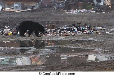 Black bear eating garbage at hyder Alaska