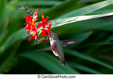 Rufous Hummingbird and red flower