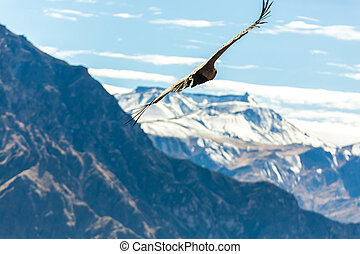 Flying condor over Colca canyon,Peru,South America. This...