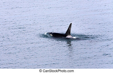 Killer Whale photographed from Alaska