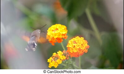 Hummingbird bug, yellow flowers