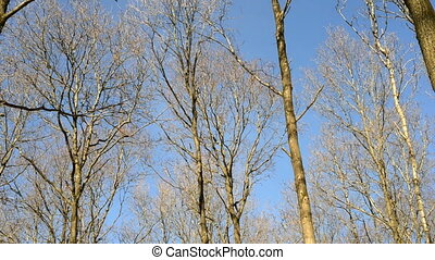 Tree canopy moving in wind - Tree canopy without leaves in...