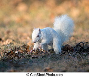 White squirrel burying nuts - Rare white squirrel stashing...