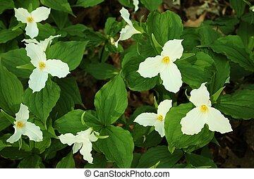 Wild Trillium - Wild white trillium, a sure sign spring has...