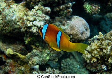 red sea anemonefish in egypt diving in the sea