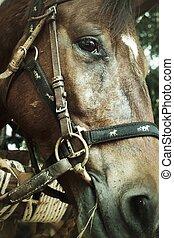 cara, caballo