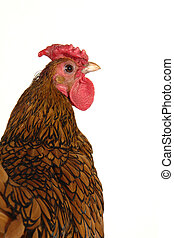 cock on a white background