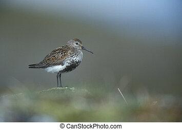 Dunlin, Calidris alpina, single bird on rock, Iceland