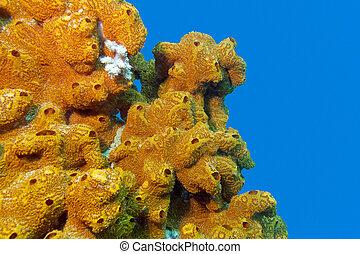 azul, esponja, arrecife, coral, aislado, agua, Plano de...