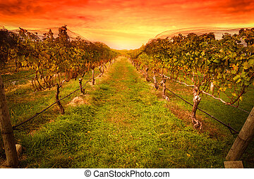 Grape vines - Grape vine at vineyard under idyllic sunset