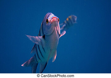 sergeant fish camera - sergeant fish in the blue sea looking...