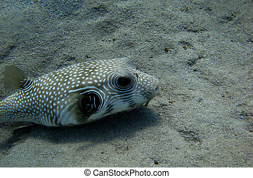white spotted blowfish when diving at the seabed