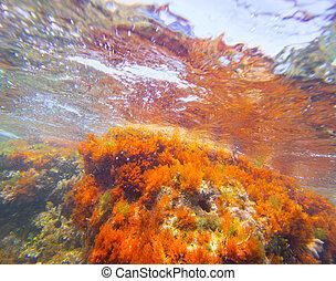 Mediterranean underwater seaweed algae in Denia Javea...