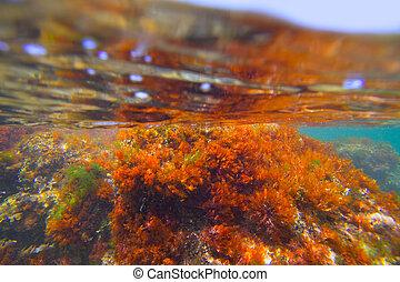submarino,  denia,  Javea, Mediterráneo, alga, algas