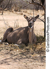 Kudu Cow under Bushvelt Tree - Kudu Cow taking cover against...