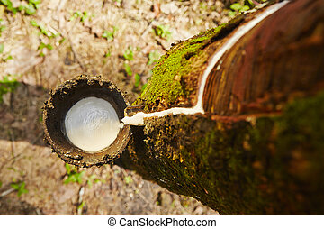 Rubber tree - Tapping sap from the rubber tree in Sri Lanka