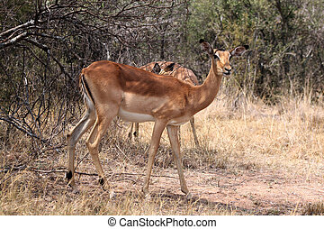 Alert Impala Ewe walking through Bushveld Grass