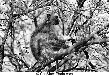 Black and White Picture of Vervet Monkey in a Tree - Black...