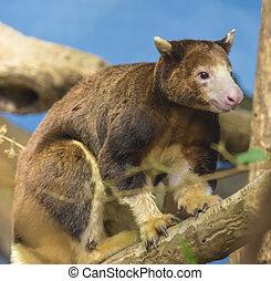 Tree Kangaroo - Close-up shot of a cute tree kangaroo