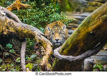 Beautiful Jaguar animal in it's natural habitat