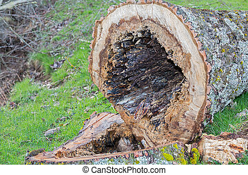 Rotten - Closeup of rotten poplar tree