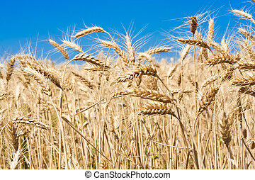 Wheat field - Beautiful golden wheat field under blue sky