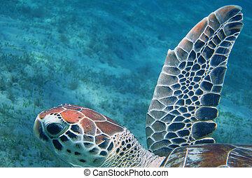 sea turtle swimming in the sea - sea turtle swimming in the...