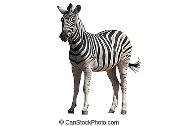 Zebra - Isolated - Zebra with vivid stripes isolated on...