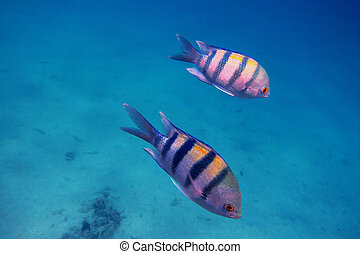 two sergeant fish in the sea when diving