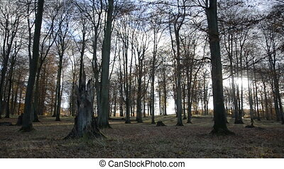 Beech forest in autumn with light wind and trees without...