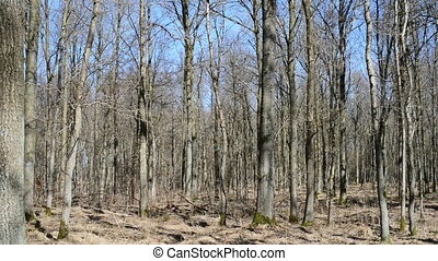 Forest in spring - Deciduous forest without leaves in early...
