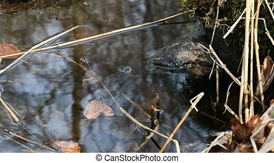 Common frog in spring - Common frog, Rana temporaria, in a...