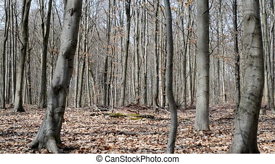 Beech forest in spring - Deciduous beech forest without...