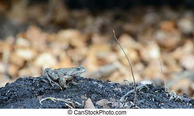 Common frog in spring in between leaves on the forest floor