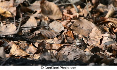 Common frog in spring in between leaves on the forest floor...