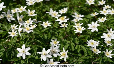 Wood anemones, anemone nemorosa in april and with light wind...