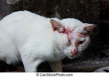 ferido, branca, gato