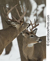 Pair of Bucks - Pair of large bucks with one sniffing...