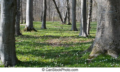 Forest floor in spring with wood anemones and green cover