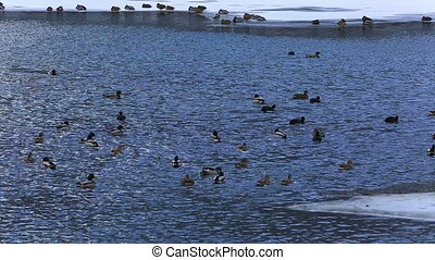 geese and ducks swimming frozen lake