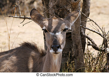 Kudu Cow under Bushvelt Tree Ears Back - Kudu Cow with Ears...