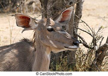 Kudu Cow under Bushvelt Tree Listening - Kudu Cow Listening...