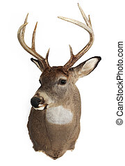 Trophy Buck - A mature whitetailed buck isolated on a white...