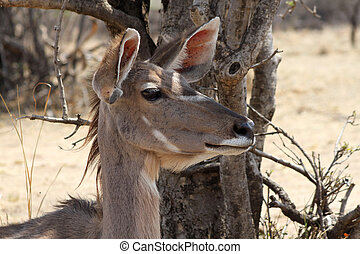 Kudu Cow Listening with Both Ears Turned Forward - Alart...