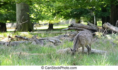Female deers eating grass - Female deers grazing and looking...