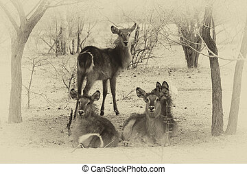 Sepia Toned Picture of Herd of Alert Waterbuck Listening...