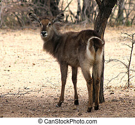 Alert Waterbuck Looking Backwards Listening Carefully to...