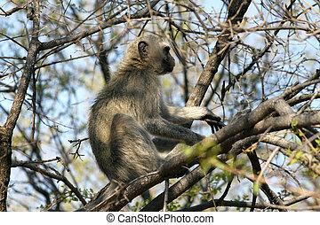 Vervet Monkey in a Tree - Vervet Monkey Chlorocebus...