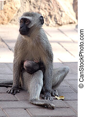 Mother Vervet Monkey with Baby - Mother Vervet Monkey...