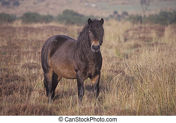 Exmoor pony, single mammal on moor, Devon